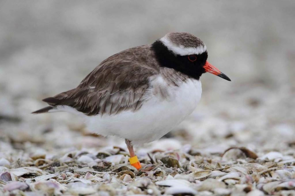 pukorokoro miranda shorebird centre shore plover