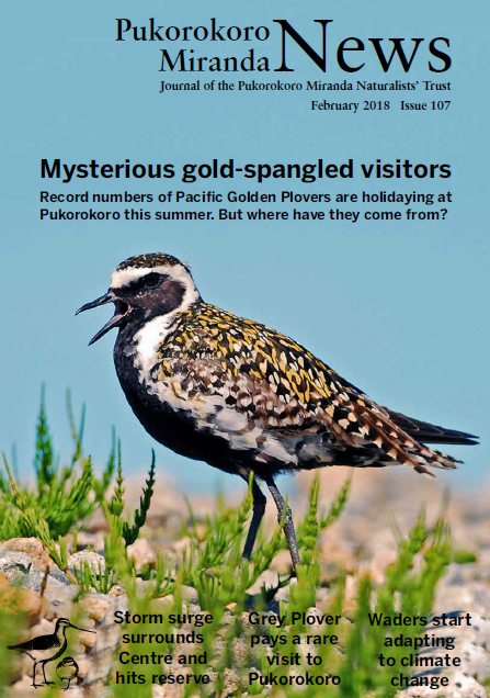 Pukorokoro Miranda News Pacific Golden Plover