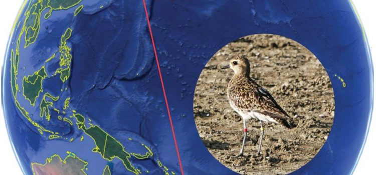 New season Pacific Golden Plover checks in