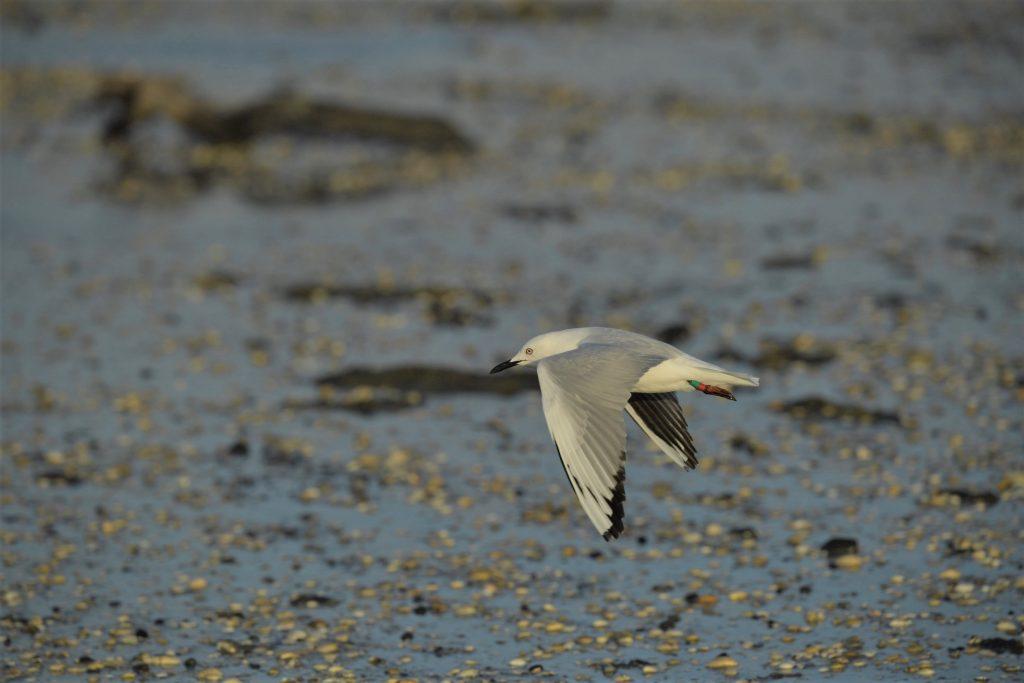 Pukorokoro Miranda Shorebird Centre black billed gull bird banding