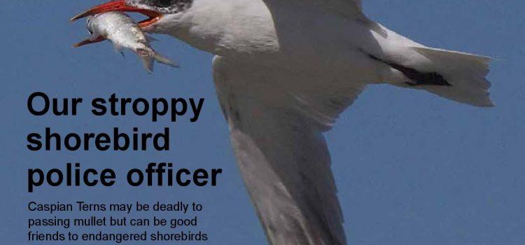 Magazine May 2021 – Caspian Terns vulnerabilities keep them moving