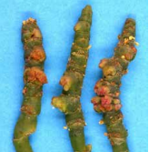 Glasswort-mites