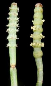 glasswort-flowers