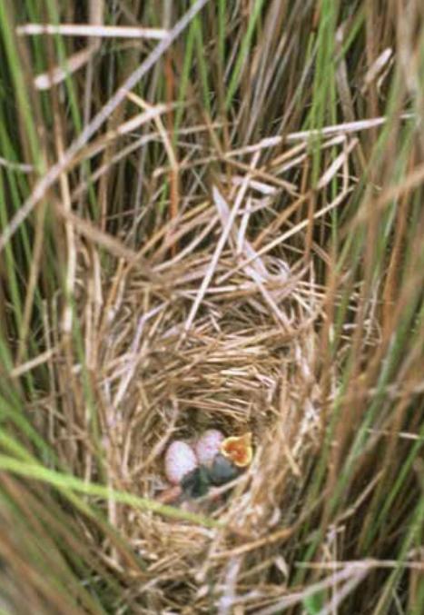 Fernbird nest